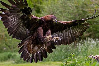 Скалният орел може да забележи скачащ заек от разстояние над 3 километра.