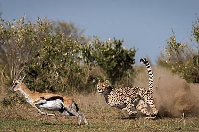 Гепардът ускорява ход по-бързо от състезателна кола.
