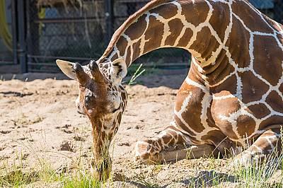 Жирафите спят само по половин час на ден.