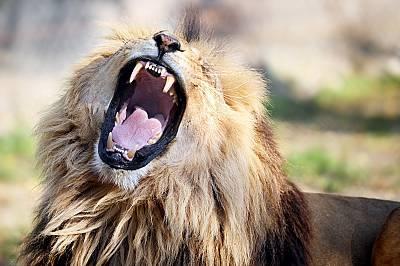 Ревът на възрастен мъжки лъв може да бъде чут на разстояние до 8 километра.