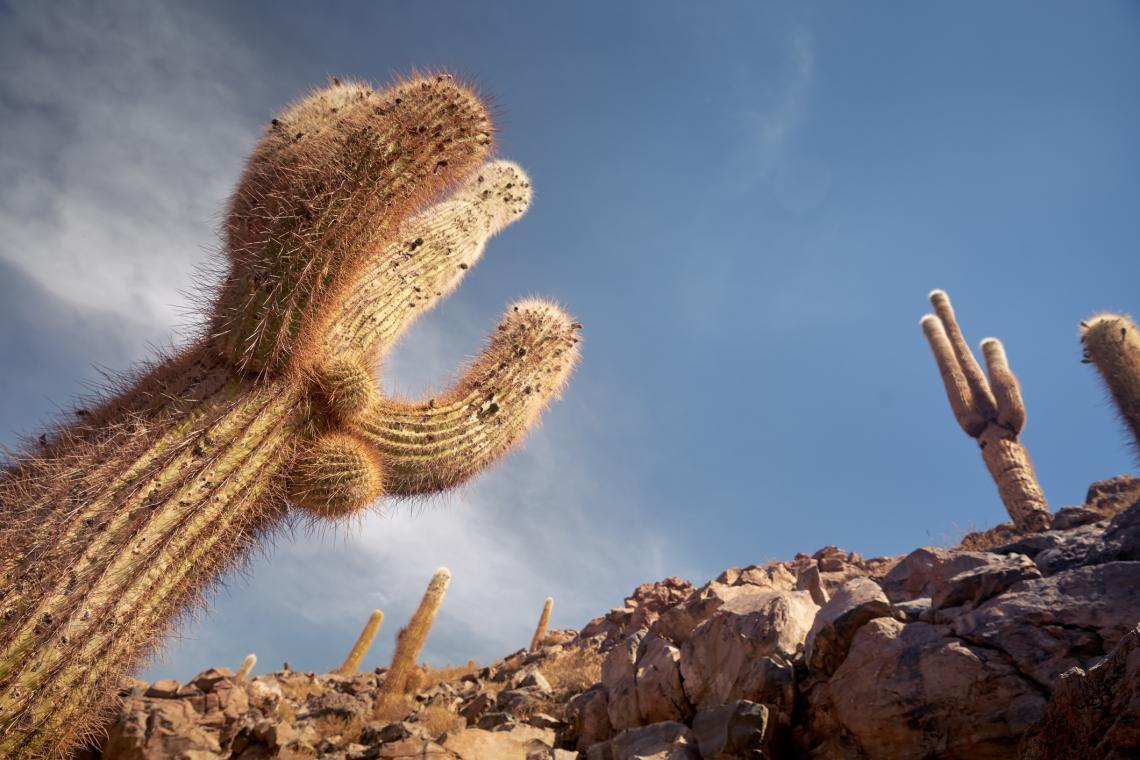 Кактуси в Гуатин, област Антофагаста, Чили.