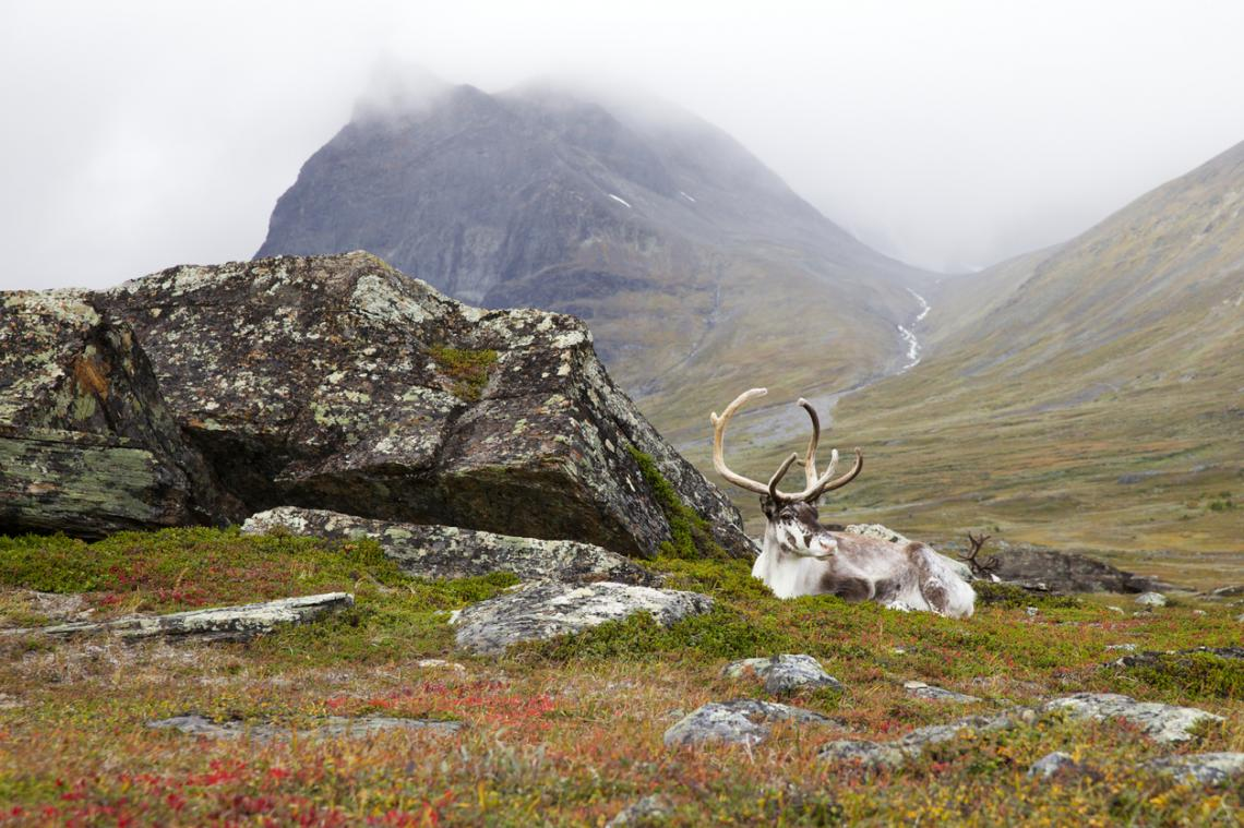 Бял елен, който си почива в Лапландия, Швеция. На заден фон е Кебнекайсе, най-високата планина в Швеция.
