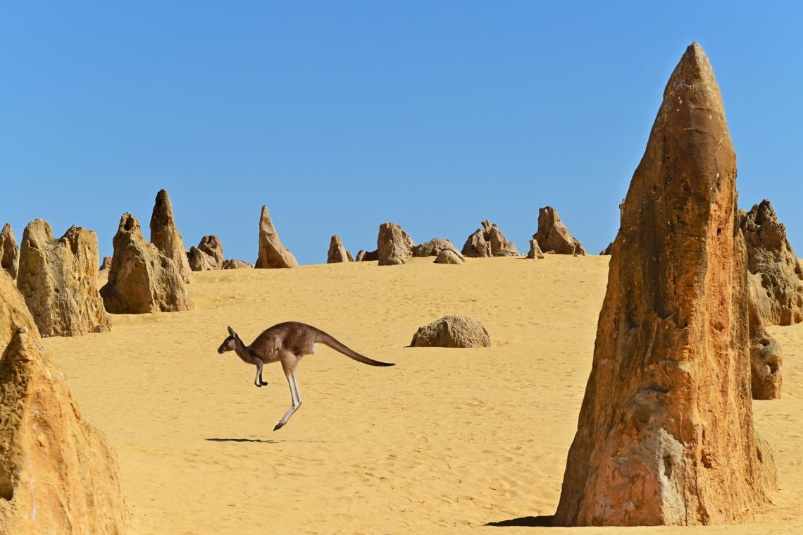Сиво кенгуру подскача в пустинята Пинакълс близо до град Сервантес в Западна Австралия.