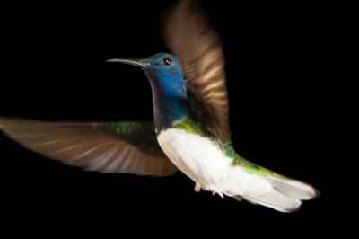 Защо някои женски колибрита изглеждат като мъжки?