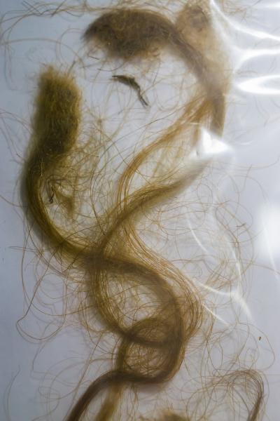 Кичури козина на вълнест мамут в пластмасова торба. Останки от изченалия преди хиляди години животински вид.
