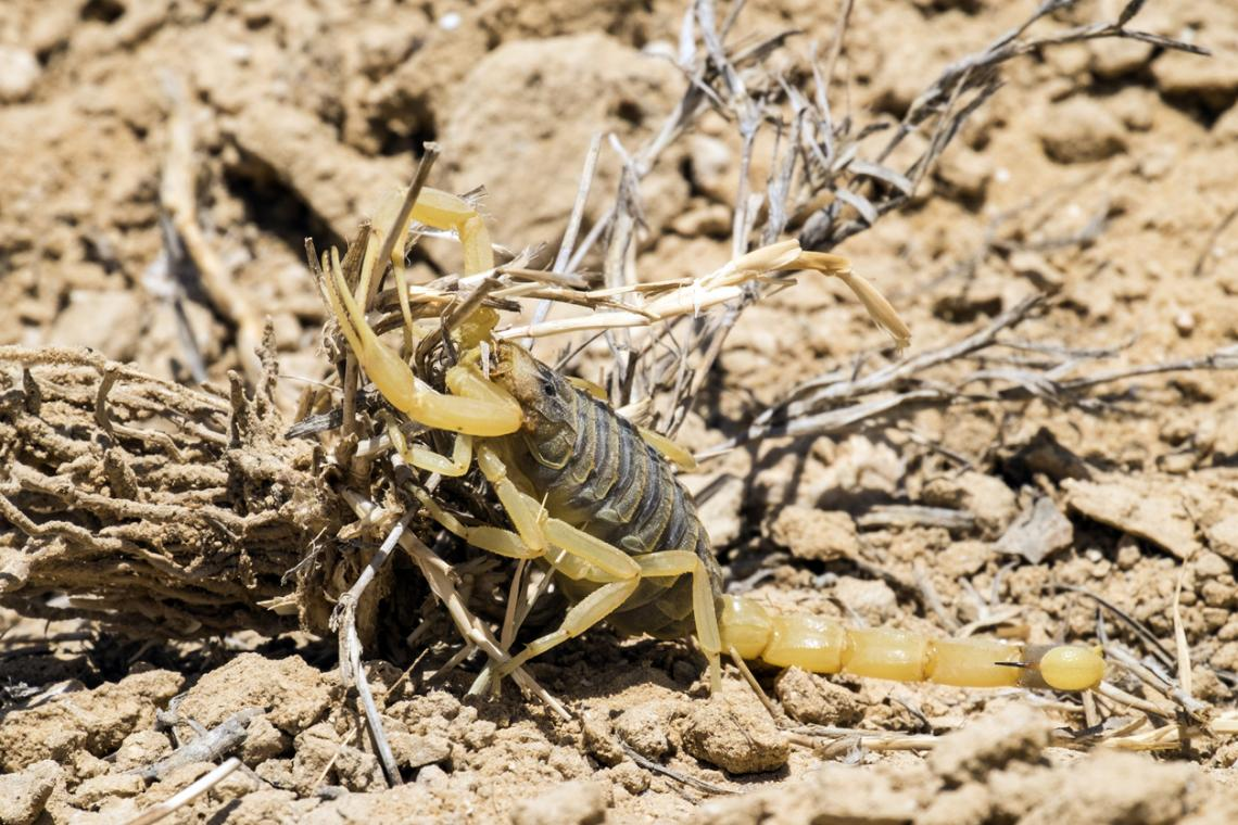 Смъртоносен ловуващ скорпион (Leiurus quinquestriatus)