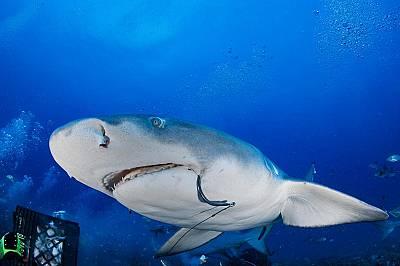 Лимоновата акула с кука в уста.