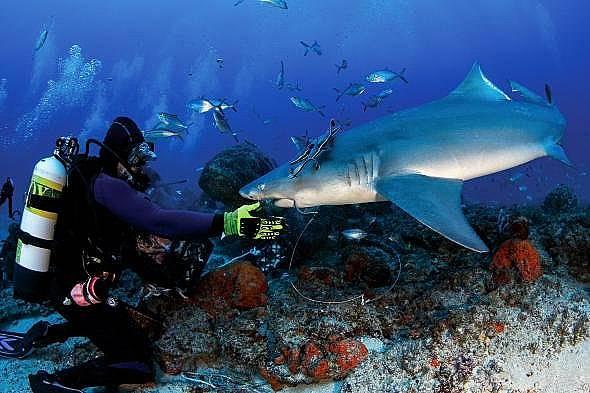 Роджър Хедикс маха куката от устата на акулата.