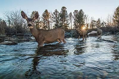 Стада черноопашати елени мигрират през западен Уайоминг. Пътуването им е близо 300 километра и е най-дългата известна миграция на елени в Северна Амер...