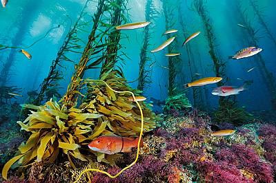 Плитчина Кортес, 180 км западно от Сан Диего, Тихи океанЕдна лъчеперка семикосифус и други риби си пробиват път през гората от келп и коралови алги на...