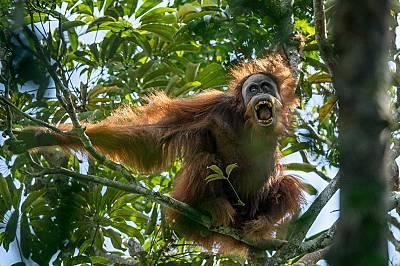 Орангутани в риск