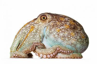 Едър, с голямо тяло и къси крайници, бледият октопод (Octopuspallidus)обитава водите край Югоизточна Австралия, където се храни нощем с черупчести орг...