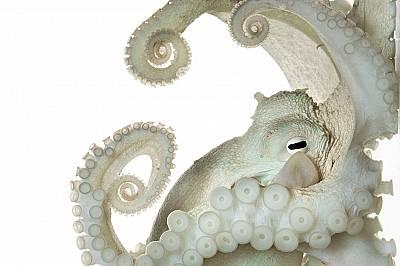 Нервната система на този обикновен октопод, Octopusvulgaris,е много по-голяма и сложна от тази на повечето безгръбначни. Може ли да мисли? Съзнателен...