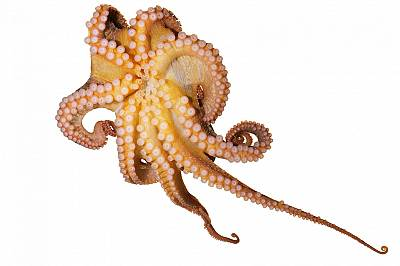 Тихоокеански червен октопод, Octopusrubescens, показва пипалата си. Всяко едно може да се управлява независимо от другите, огъвайки се и извивайки се,...