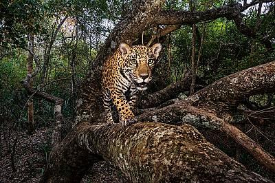 Изчезващото царство на ягуара