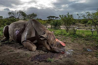 Бракониери убили този черен носорог заради рога муБракониери убили този черен носорог заради рога му с големокалибрени куршуми до място за водопой в п...
