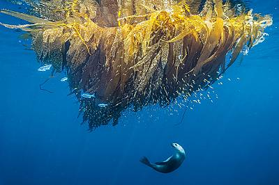 Калифорнийски морски лъвКалифорнийски морски лъв лови риба сред келпа на плитчината Кортес – подводен хълм край Сан Диего. Природозащитницит...