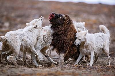 Сам с полярните вълци