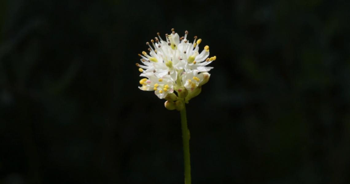 Западният фалшив асфодел има хубави бели цветове и власинки, по стъблото си, които могат да улавят и смилат насекоми.