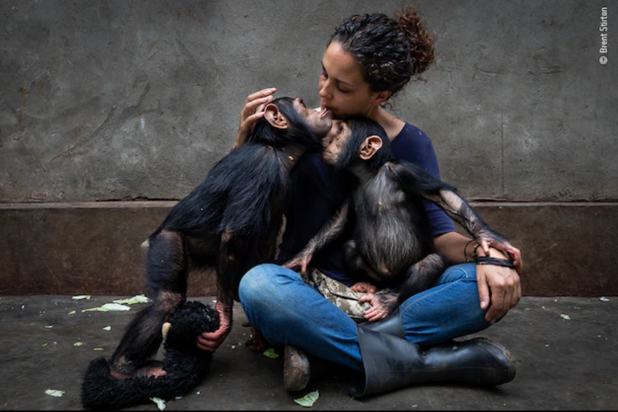 Центърът за рехабилитация на примати Lwiro в Конго се грижи за около сто млади шимпанзета, които са осиротели или са били спасени от продажба като дом...