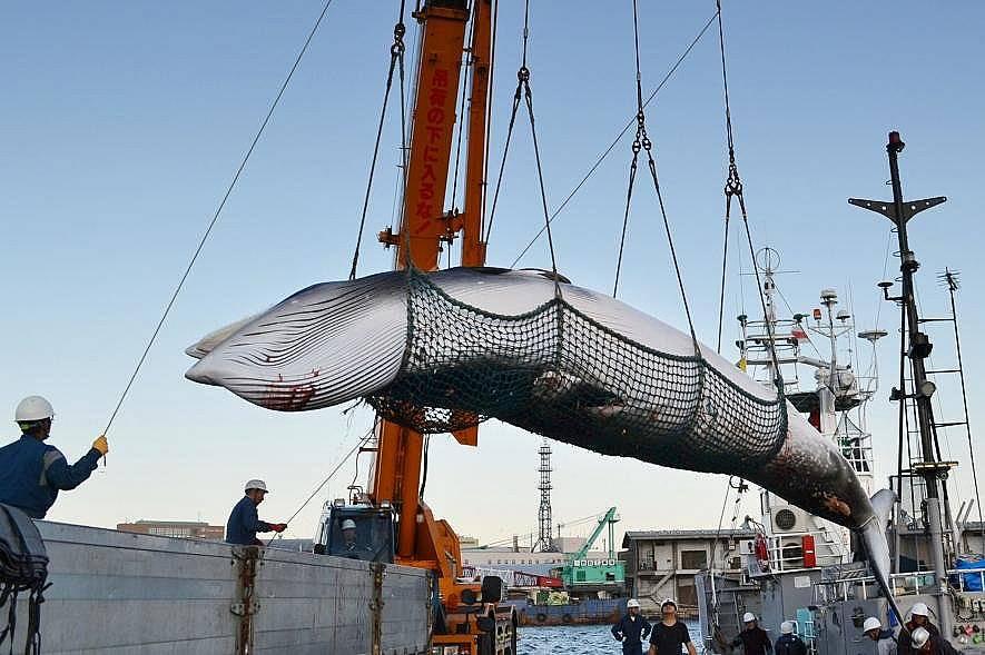 Малките ивичести китове биват улавяни често под предтекст, че са част от научната програма на страната. Снимка: Kyodo News, Getty