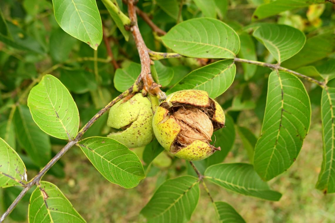 Орехи на дърво.