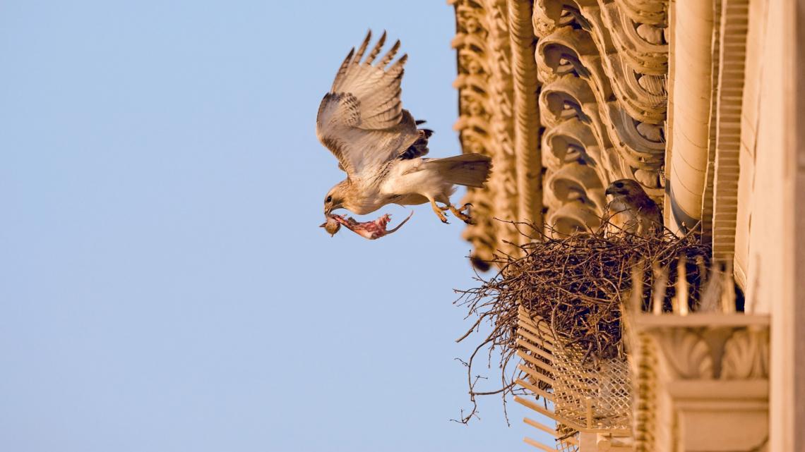 Червеноопашат ястреб, който напуска гнездото си на висока сграда в Ню Йорк. Видове, включително червеноопашати ястреби, са забелязвани по-често в град...