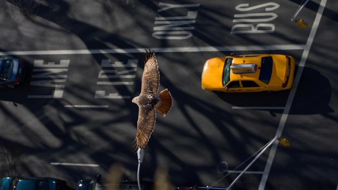 """Червеноопашат ястреб, прелитащ над улиците на Ню Йорк. Много видове бързо се приспособиха към """"антропаузата"""", променяйки поведението си за няколко сед..."""