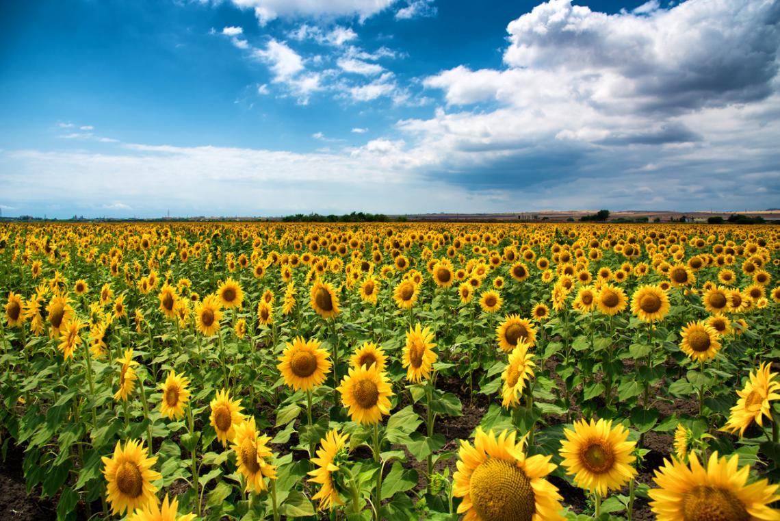 Слънчогледово поле през хоризонта, където небето и земята се допират. Близо до Бургас, България.
