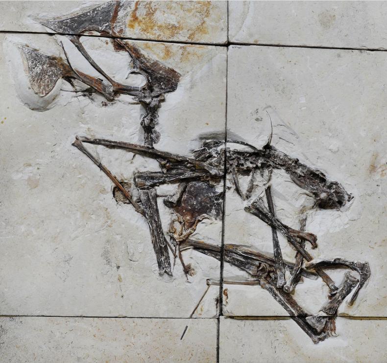 Погребана във варовикови блокове, тази вкаменелост е първият почти изцяло запазен скелет на вид птерозавър, описан за първи път през 2003 г.