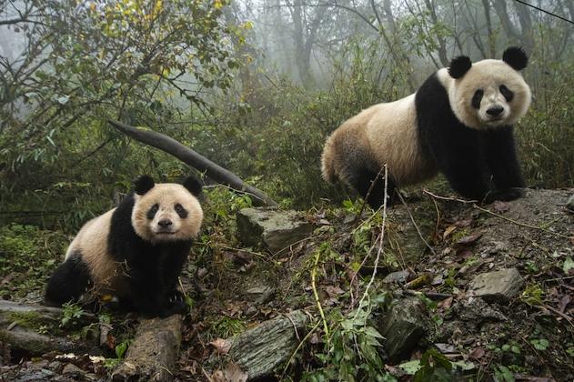 Голяма панда и нейното малко в плен изследват заграждението си в Китайския център за опазване и изследване на вида в провинция Съчуан.