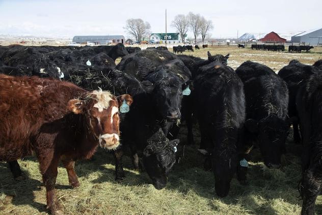 Ивермектин е лекарствен препарат, който се използва за премахване на червеи от стопански животни. Снимката показва говеда в ранчо в Уайоминг.