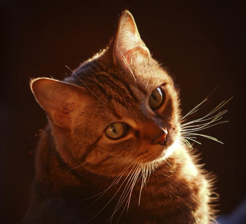 От близо 60 милиона домашни котки само в САЩ, класическото райе е особено популярно.