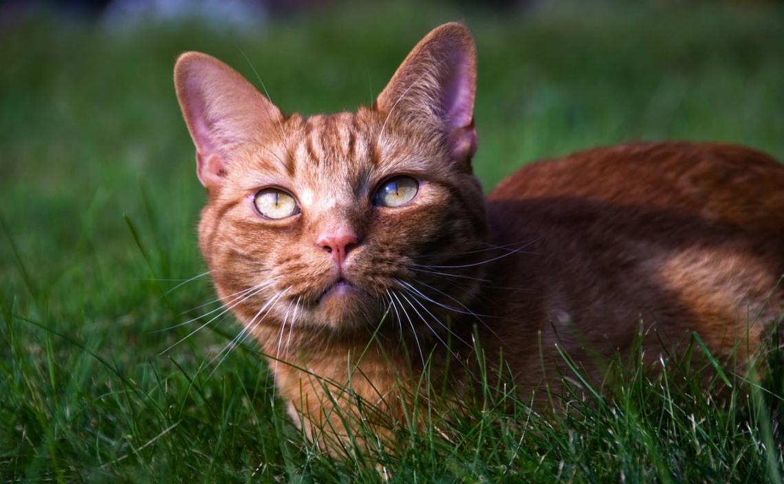 Таби ивиците произхождат от прекия предшественик на домашната котка - близкоизточната дива котка.