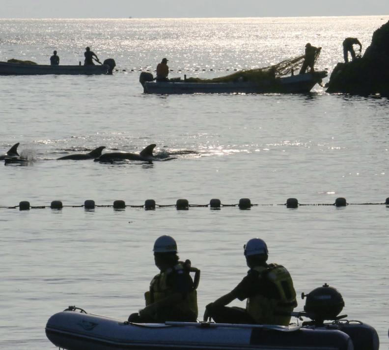 Афалините (морски бозайник от семейство Делфинови), уловени в първия ден от скандалния лов на делфини в Тайдзи, се държат в залива, докато рибарите по...