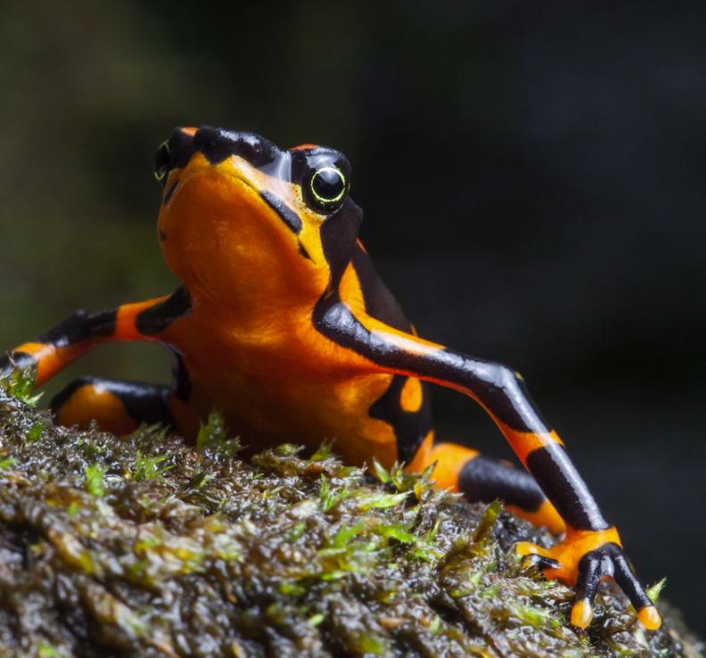 Критично застрашенити жаби арлекин се считат за индикаторни видове, тъй като са силно чувствителни към промени в околната среда.