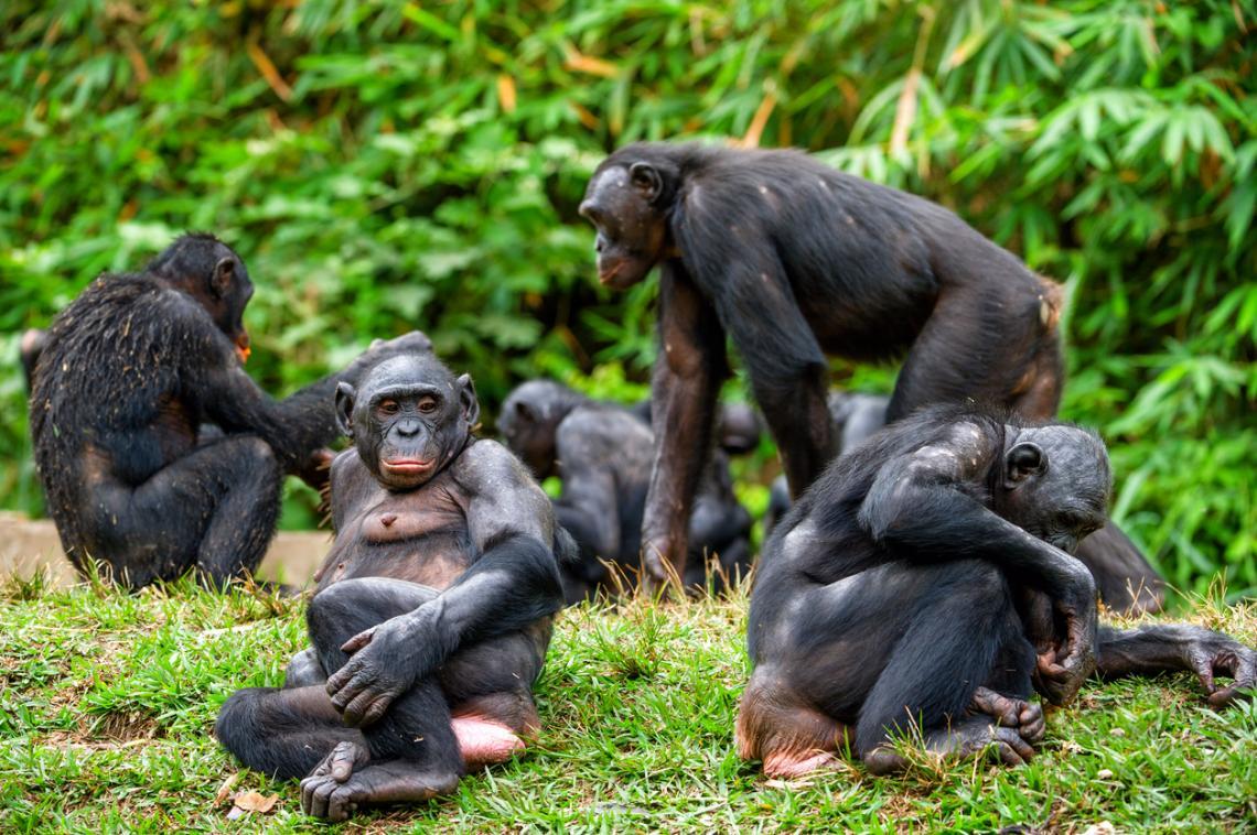 Семейство шимпанзета бонобо. Демократична република Конго, Африка