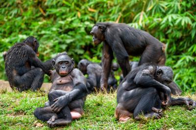 Здравей и сбогом – и шимпанзетата могат така