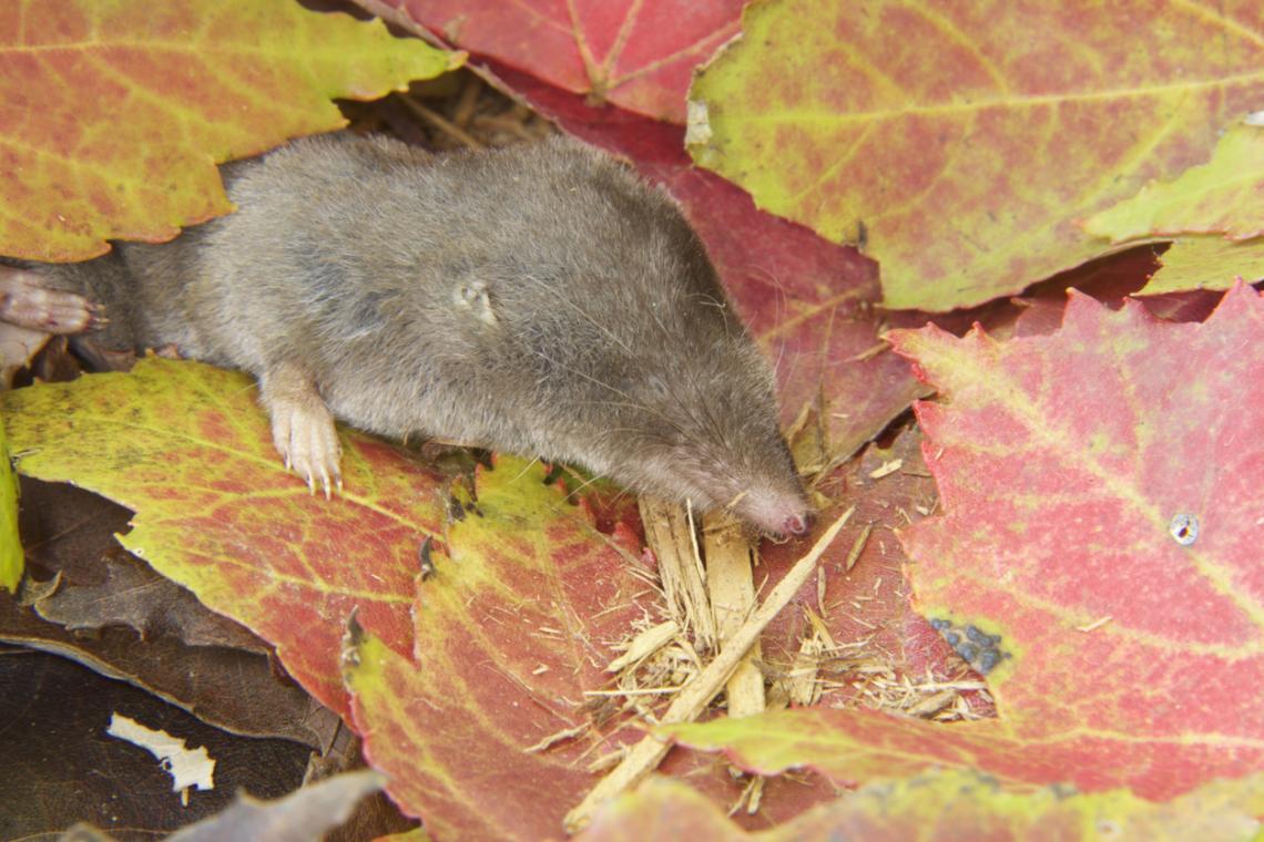 Северната късоопашата земеровка (Northern short-tailed shrew)