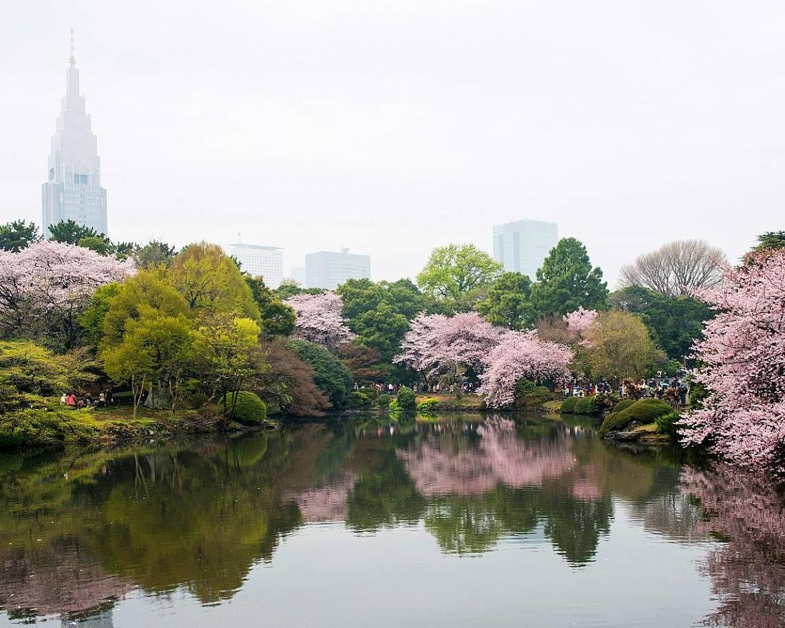 Вишневи дървета в Шинджуку Гьоен, ТокиоОтражение на вишневи дървета в националния парк Шинджуку Гьоен, Токио.