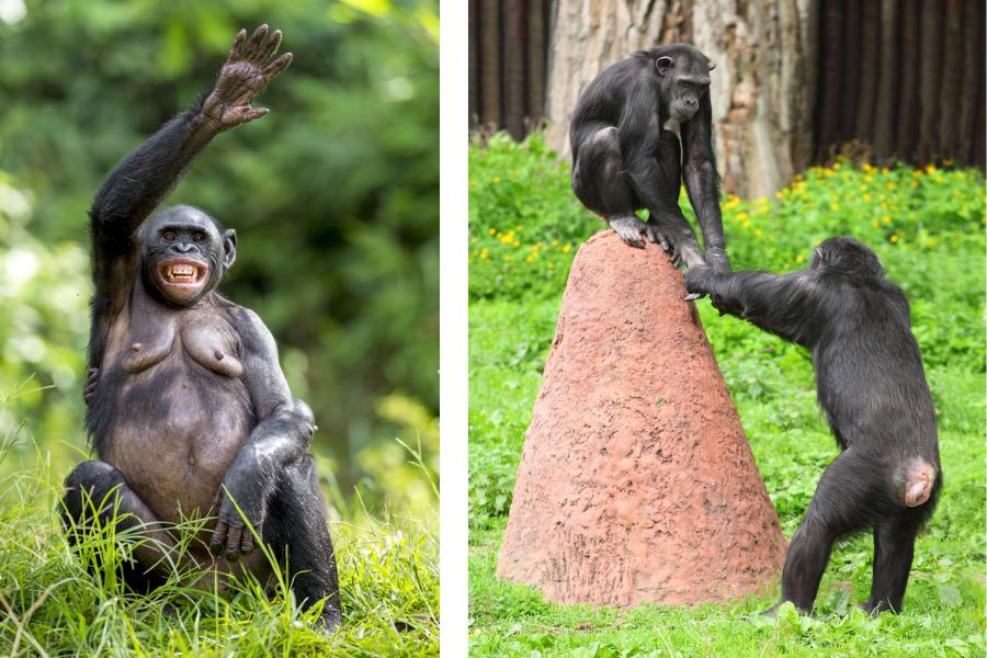 Вляво: Женско шимпанзе бонобо, IStock.Вдясно: Две шимпанзета взаимодействат помежду си, IStock.