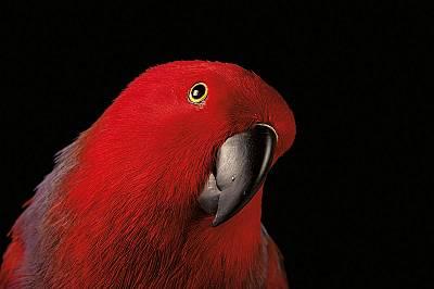 Треска за папагали