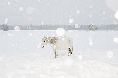 В мартенския студ селяните предлагат храна и топлина на полудиви коне като тази бременна кобила. По-късно през