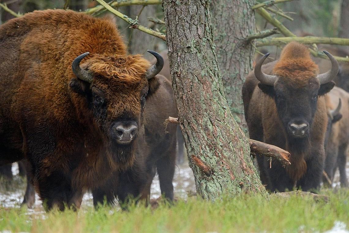 За първи път от векове насам зубри се разхождат из Родопите Снимка: Staffan Widstrand / Rewilding Europe  Staffan Widstrand / Rewilding Europe