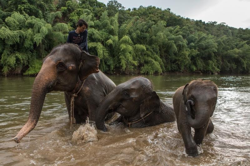 Една година без туризъм: криза за тайландските слонове в пленничество