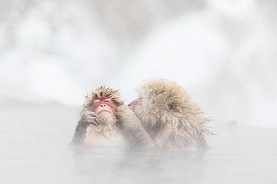 Двойка японски макаци се крият от студедната зима в горещ извор.