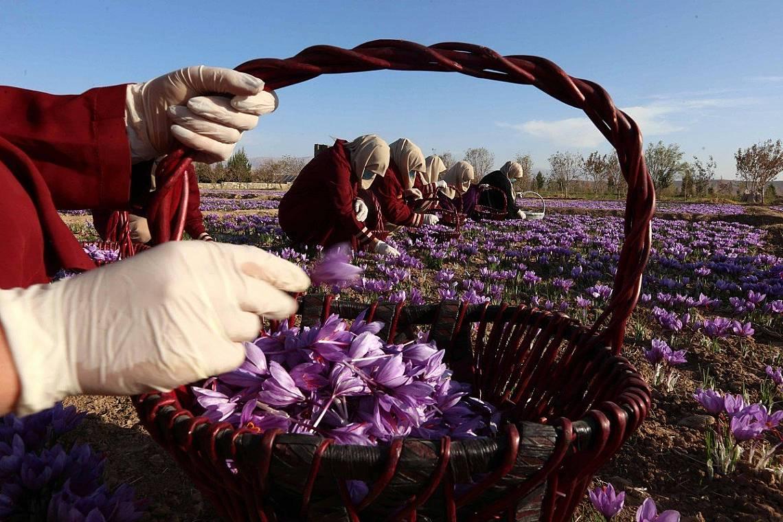 Шафранът е подправка, получавана от цветовете на шафрановия минзухар, културен вид минзухар от семейство Перуникови. Самото растение се нарича също съ...
