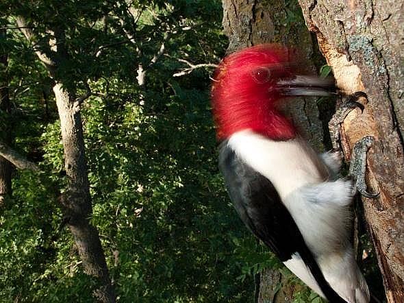 Червеноглав кълвач от вида Melanerpes erythrocephalus в Небраска. Черепите на птиците са специално пригодени за ударите, които упражняват. Снимка: Дж...
