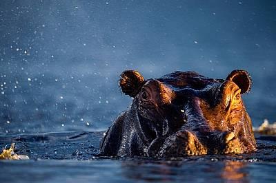 Нилски хипопотамЧифтосването във водата всъщност е по-лесно за хипопотамите, тъй като способността им да се задържат над водата намалява огромното им...
