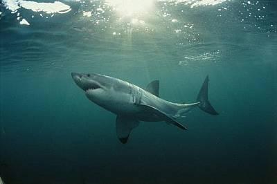 Голяма бяла акулаНякои акули, като тази дълга близо 4 метра голяма бяла акула, раждат малките си, докато други видове снасят яйца, но при всички мъжка...